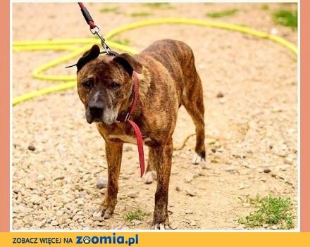 UWAGA! Nieufny do ludzi  do stróżowania  pies TAJSON_Adopcja