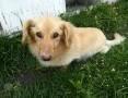 FALKOR - wielkouchy, przefajny rodzinny pies do ADOPCJI