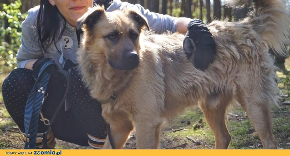 Znaleziony rudy długowłosy pies owczarek owczarkowaty