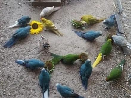 Papugi papuga modrolotki modrolotka kozy niebieskie cynamon  Żędowice