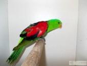 sprzedam papugę czerwonoskrzydłą do klatki,samca
