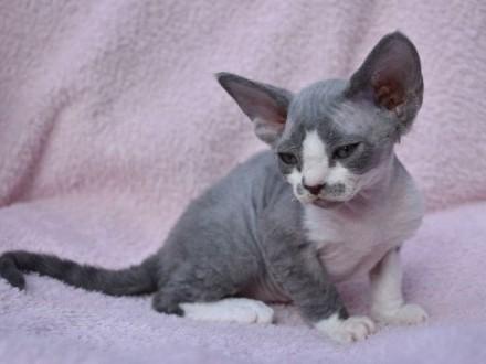 Oryginalna koteczka niebiesko biała