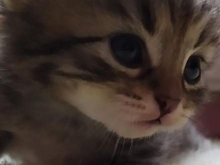 Koty syberyjskie ( kocięta) z rodowodem FPL