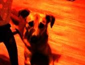 Młody psiak  Bafi pilnie szuka nowego domu