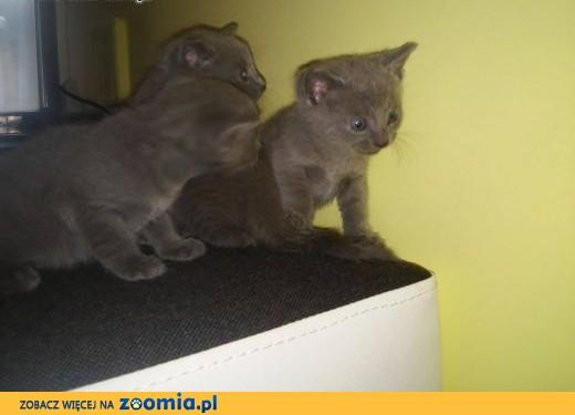 Sprzedam Młode Koty Rasy Rosyjskiej Niebieskie Z Rodowodem