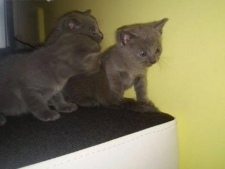 sprzedam młode koty rasy rosyjskiej niebieskie z rodowodem   małopolskie Andrychów