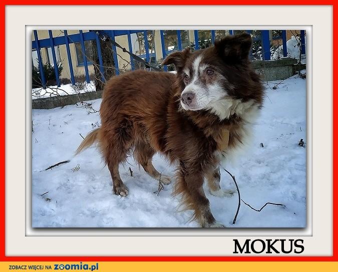 Średni 10 kg,8 letni,przesympatyczny,łagodny,zaszczepiony piesek MOKUŚ_Adopcja_