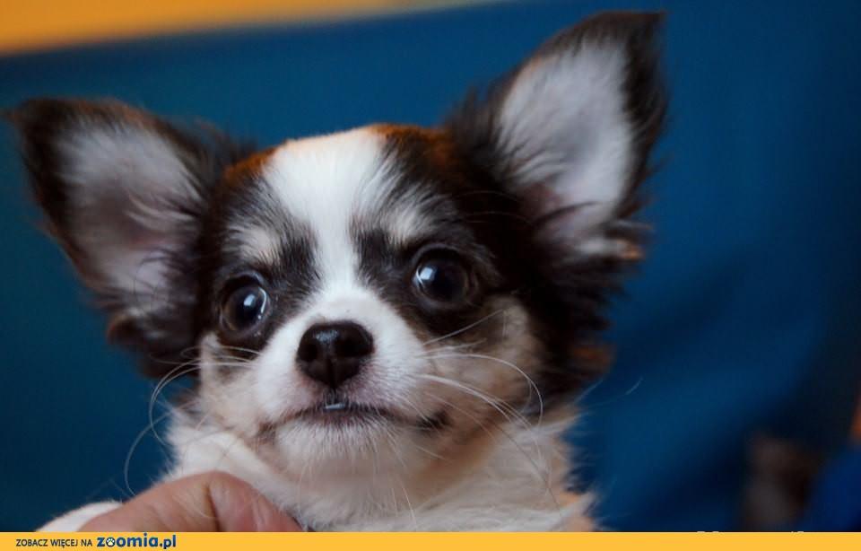 Chihuahua piesek dlugowlosy , rozkoszny , maly