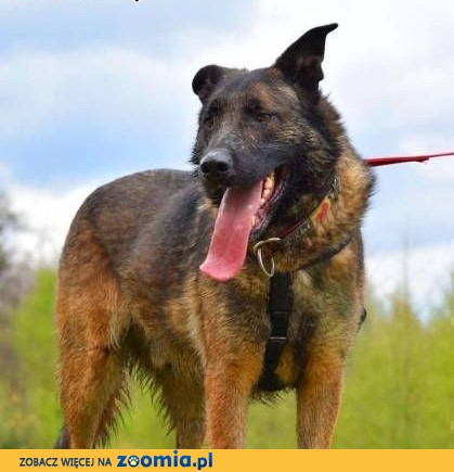 ARES - piękny, wyszkolony pies w typie owczarka do adopcji,  mazowieckie Warszawa