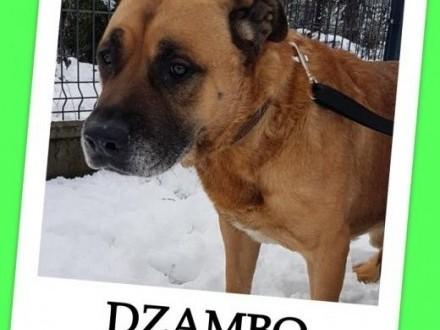Amstaff mix duży łagodny grzeczny przyjazny zaszczepiony pies DŻAMBOAdopcja   śląskie Katowice