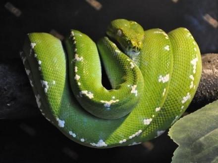 Pytony zielone