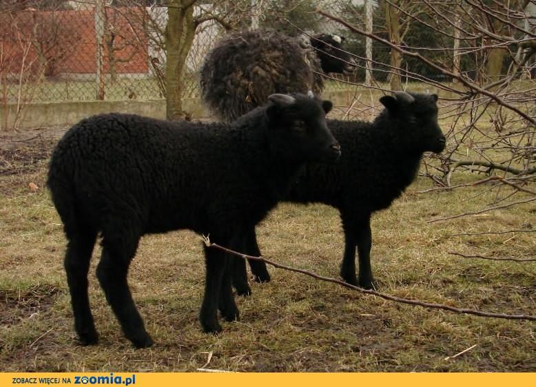 owce wrzosówki - baran, baranek