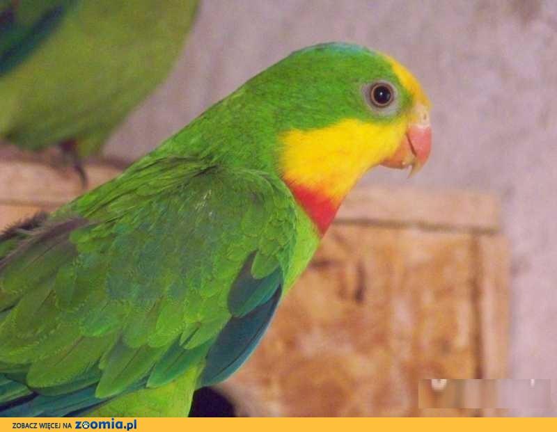 Papugi Barabandy para lęgowa