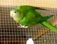 'Papugi Barabandy para lęgowa