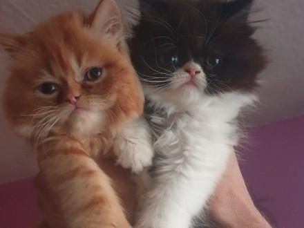 Kociczka Pers ostatnia