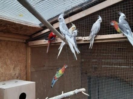Papugi nimfy białogłowe z 2020 r