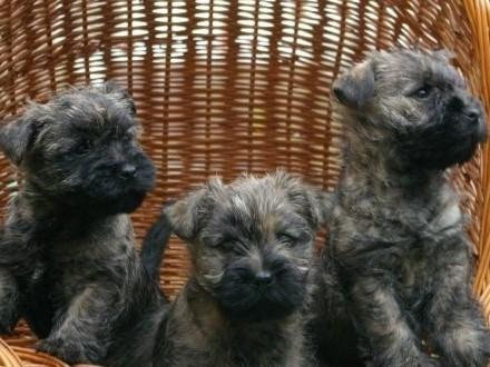 Wesołe szczeniaki rasy Cairn Terier