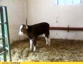 byczki byczek byk byki cielęta cielaki cielak ras mięsnych mięsne