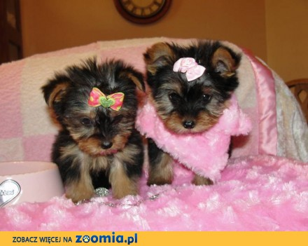 Mini suczka biewier yorkshire terrier szczeniak