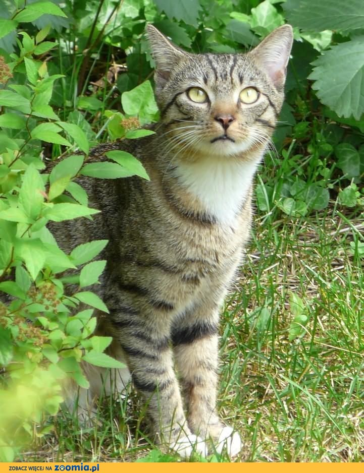 Zaginął jasno-bury kot Żoliborz 19 października