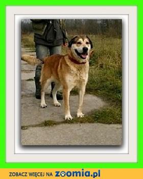 Duży pies stróżujący czujny  odważny  kontaktowy TORES_Adopcja