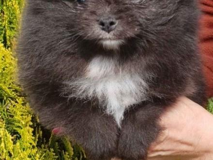 Szpic miniaturowy-Pomeranian linia Tajlandzko- Amerykańska   śląskie Myszków