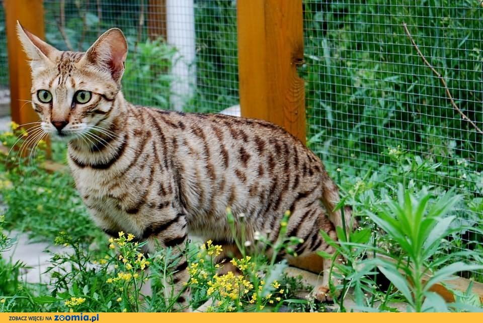 Kocięta Savannah Z Rodowodem Bengalski Koty Archiwum Zoomia Pl
