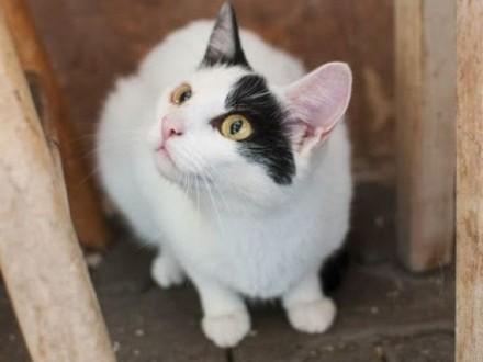 Z Chinką konie kraść! Szalona kotka do adopcji   śląskie Katowice