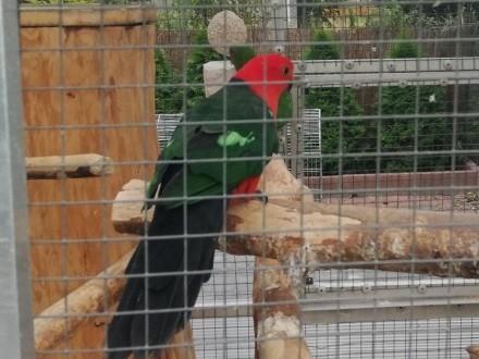 Młode papugi szkarlatki królewskie