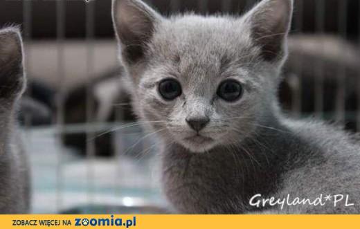 Kocięta Rosyjskie Niebieskie Greyland ,  Koty rosyjskie cała Polska