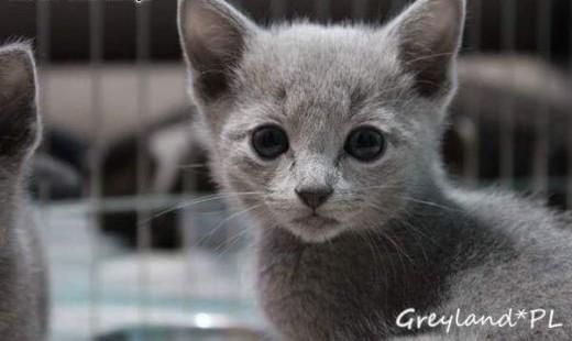 Kocięta Rosyjskie Niebieskie Greyland    Koty rosyjskie cała Polska