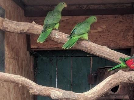papuga czerwonoskrzydła krasnopiórka 19r