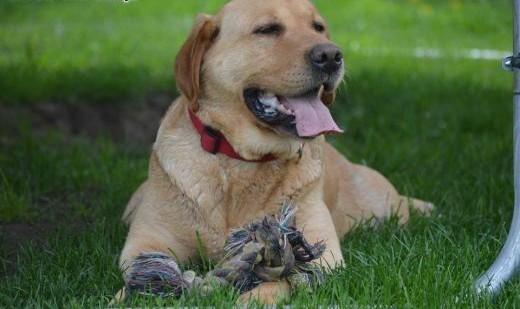 Cudowna labradorka Rosa szuka kochającego domku   wielkopolskie Leszno