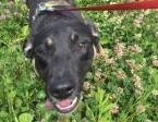 6 miesięczny Borys, grzeczny, wesoły psi dzieciak szuka domu!