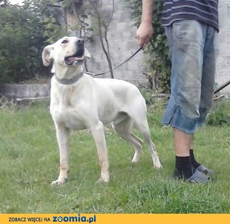 RONON - psiak w typie labradora szuka DOMU