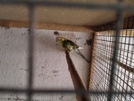 Świergotka seledynowa samiec