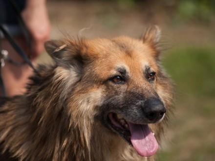 Eryk-piękny  bezkonfliktowy pies w typie owczarka!