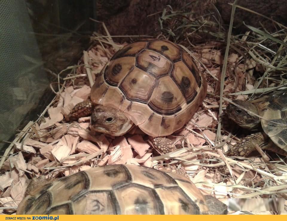 Żółw Grecki (Testudo hermanni), Żółwie greckie