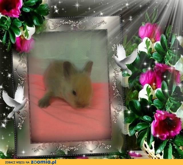 teddy królik króliczek karzełek z rodowodem - hodowla teddy land