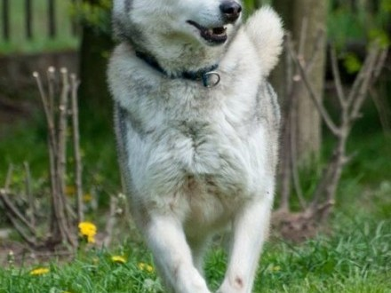 KUSKO- energiczny  inteligentny pies husky do adopcji   małopolskie Kraków