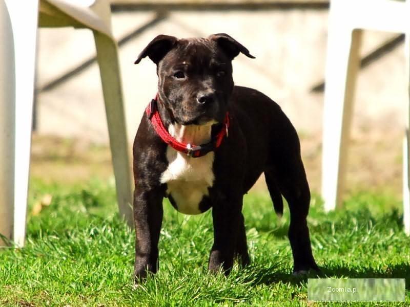 Staffordshie Bull Terrier - szczenięta z doskonałym pochodzeniem