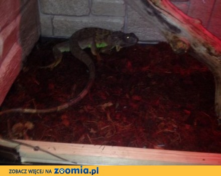 Legwan zielony iguana