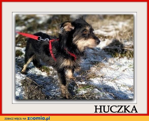 2 letnia suczka w typie teriera,mała 8 kg,łagodna,sterylizowana HUCZKA_Adopcja_