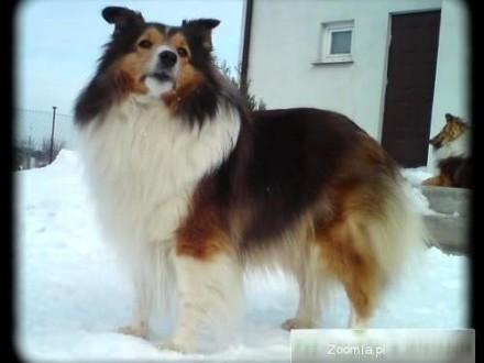 Owczarek szetlandzki śniady wystawowy pies po Chionach
