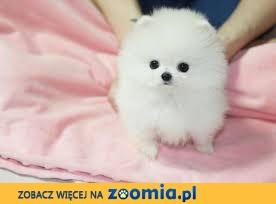 Boże Narodzenie Prezent Do sprzedania śliczne szczenięta Pomeranian