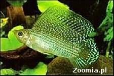 Molinezja żaglopłetwa green