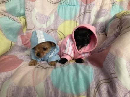 Najpiękniejsze Chihuahua cudowny charakter DOWÓZ