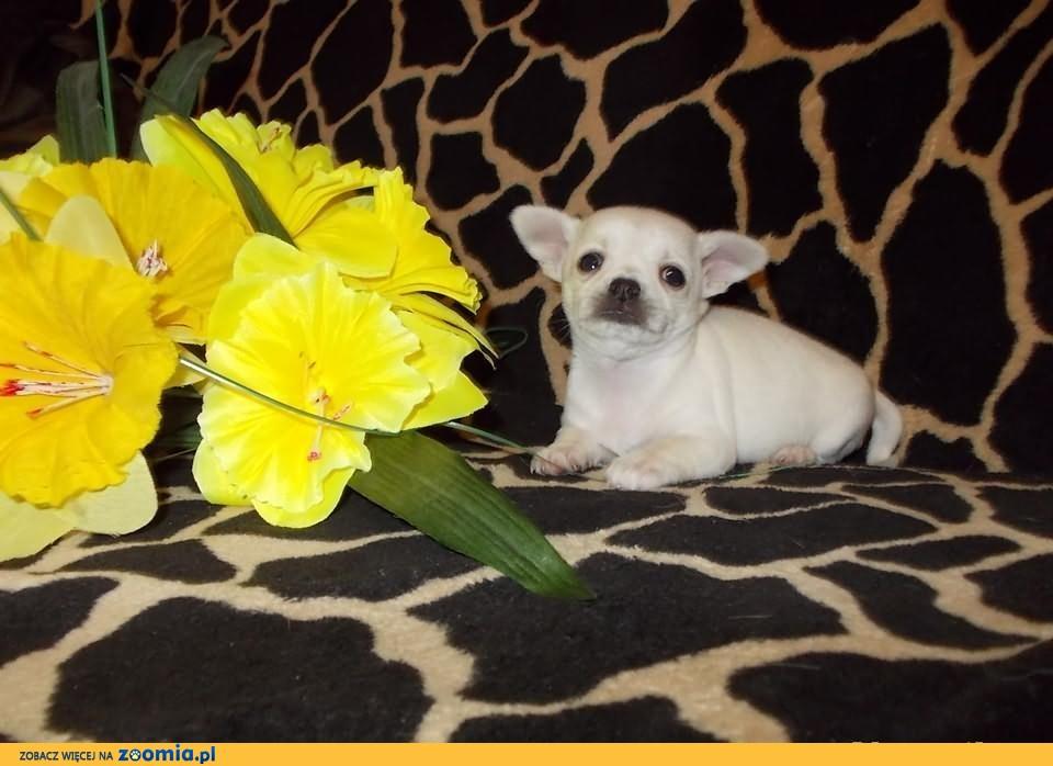 ELITA rasy Chihuahua -super miniaturowy piesek-dla koneserów piękna!