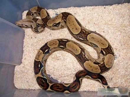 Samica Boa dusiciela Boa constrictor ssp