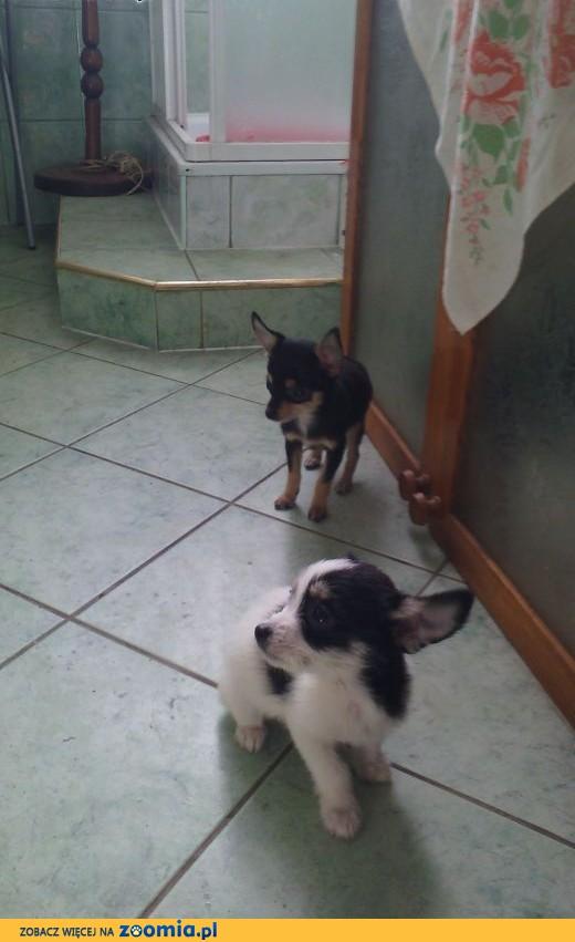 Chihuahua  maltanczyk,  śląskie Bielsko-Biała